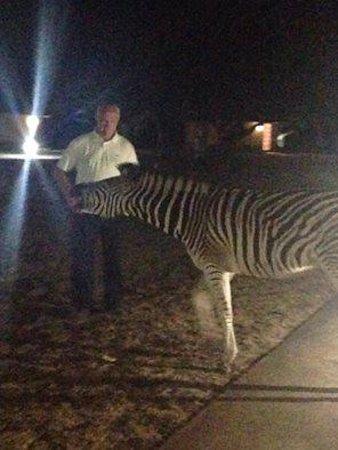 zebra het huisdier van bayala game lodge