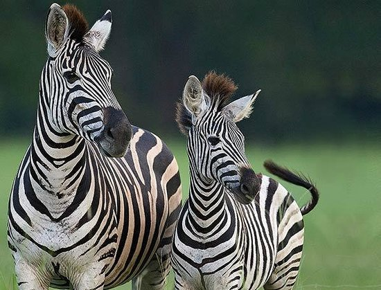 Sabi Sabi Bush Lodge: Zebra