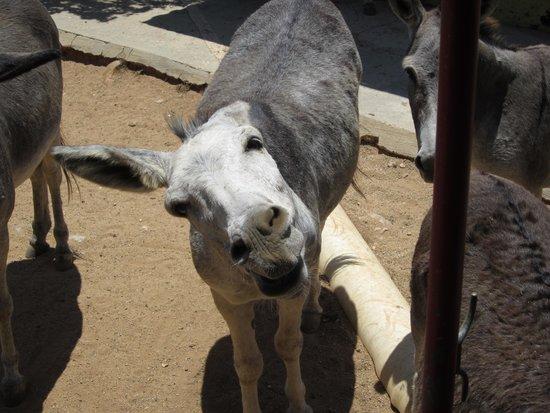 Donkey Sanctuary Aruba : waiting for a carrot