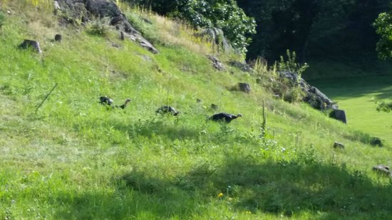 K Bar S Lodge: turkeys on the lawn