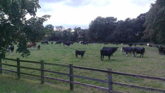 frickley park cows
