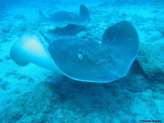 Centro de Buceo Aqua-Marina: Atlantic Rays on our last dive with Aqua-Marina Dive Center