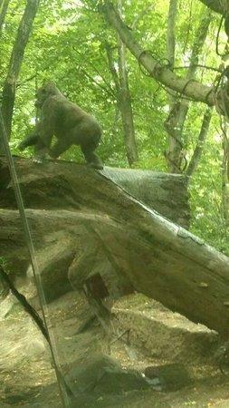 Bronx Zoo : Gorillas in the urban jungle