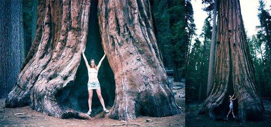 Mariposa Grove of Giant Sequoias: Гигантская секвойя)