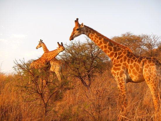 Giraffes on a game drive