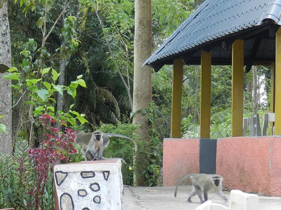 CVK Lakeside Budget Accommodation & Monkey Sanctuary: Vervet Monkeys running toward dining area