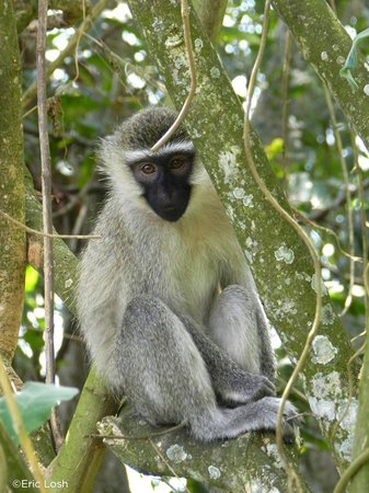 CVK Lakeside Budget Accommodation & Monkey Sanctuary: Vervet Monkey
