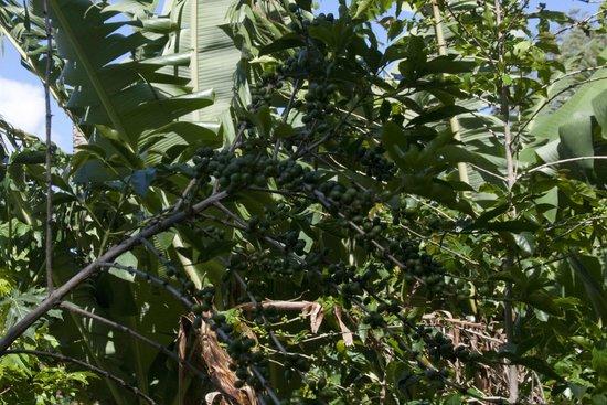 Coffee Tour El Cafetal : coffee plant