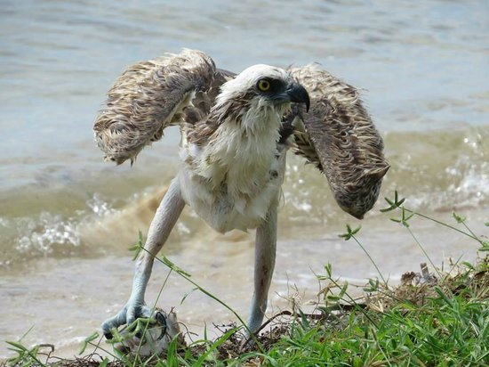 Long Key State Park: An osprey with a lucky catch