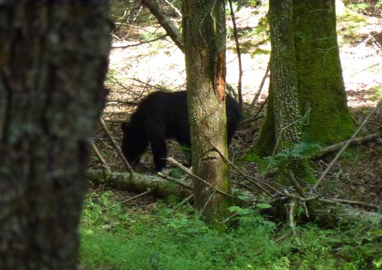 Cades Cove Riding Stables : We saw a bear!