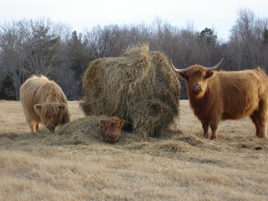 South Boston, Virginie : Scottish Highland Cattle
