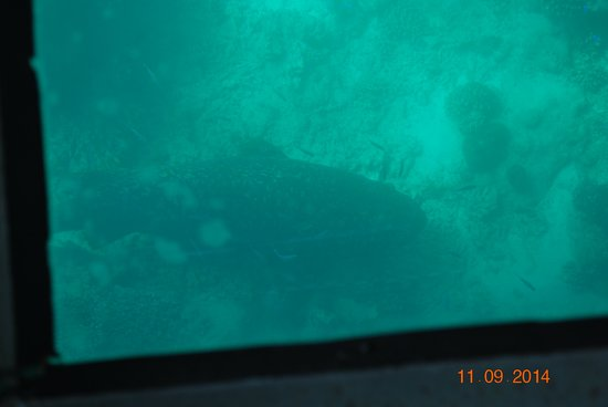 Ningaloo Ecology Cruises Glass Bottom Boat: Queensland Groper