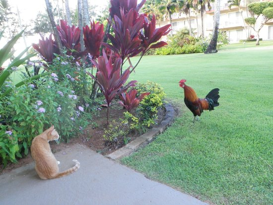 Kauai Coast Resort at the Beachboy: Friendly cat getting it from Rooster guard