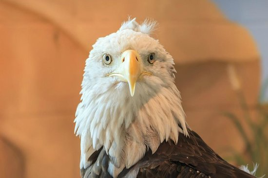 National Eagle Center : Meet Harriet the elderly lady of the group