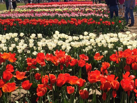 Woodland, WA: Bulbs for sale; these tulips display only
