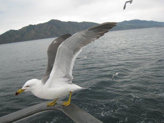 Miyako Jodogahama Boat Cruise : ウミネコが歓迎
