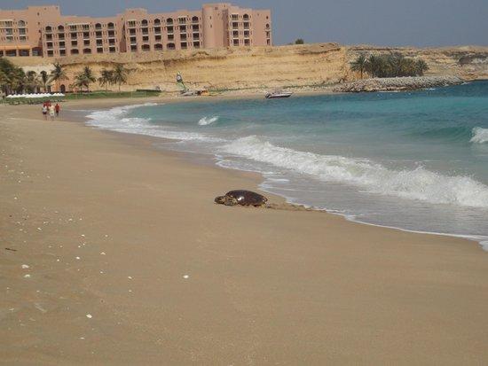 Shangri-La Barr Al Jissah Resort & Spa - Al Waha Hotel: Wilder Turtle