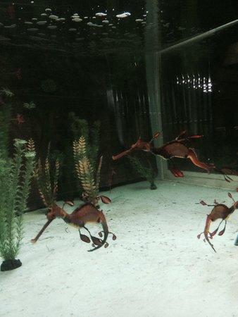 Sea Dragons at Seahorse World