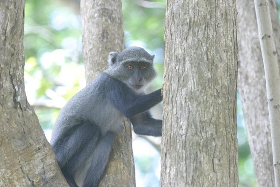 Pinewood Beach Resort & Spa: Young Colobus Monkey (they frequent the grounds)