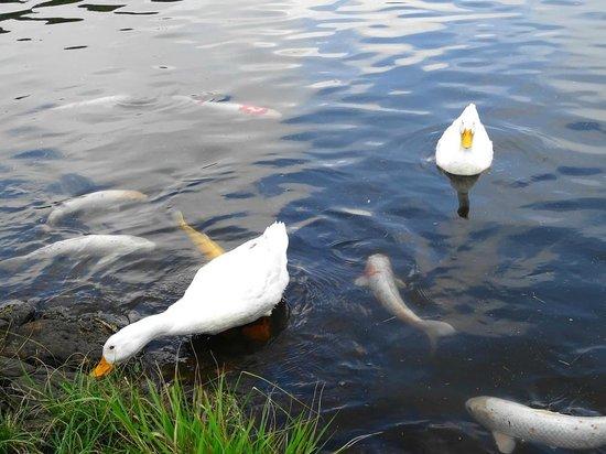 Shidakako Lake: 鯉と餌の争奪戦をしています