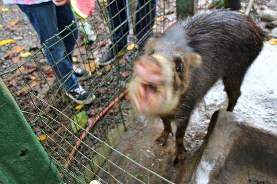 Proyecto Asis: Peccary really enjoying some watermelon