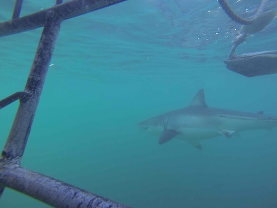 White Shark Projects: Sharks around..