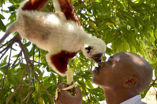 Antsanitia Resort : Rijaly et un tendre Sifaka
