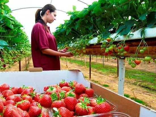 Great Haywood, UK: Pick Your Own Strawberries & Raspberries