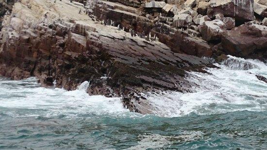 Islas Palomino: Pinguinos Humboldt