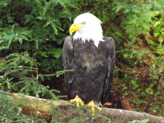 Alaska Raptor Center: Bald Eagle