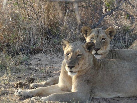 Jackalberry Lodge: Lions were just a few feet away...