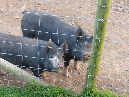 Country Ways Holiday Cottages: Oink oink!!