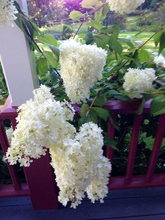 Victorian by the Sea : Hydrangeas by the veranda