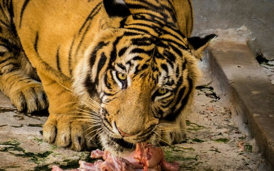 Dehiwala Zoo: Lunch time for the Tiger