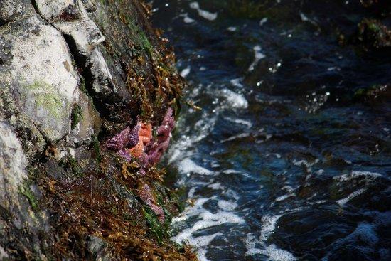 MGM Seashore Bed & Breakfast: Starfish on the rocks in back yard.
