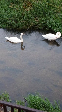 Bridge House Hotel: Home from home - a swan family