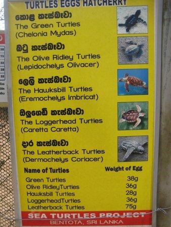 Bentota, Sri Lanka: Turtle Guide