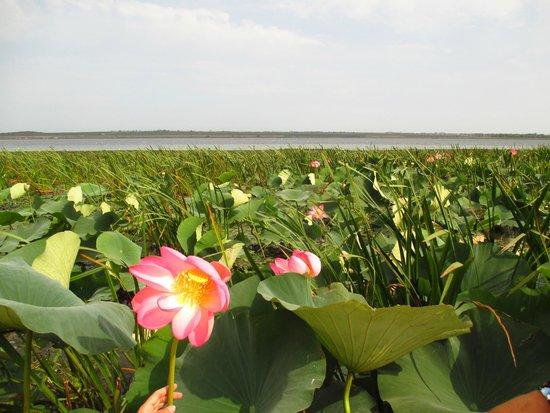 Lotus Valley: Долина лотосов. Ахтанизовский лиман.
