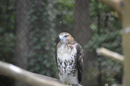 Bear Hollow Zoo: hawk