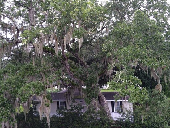 The Inlet Sports Lodge: Large tree and dangling spanish moss in rear of hotel.