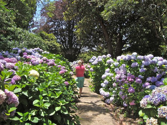 Arderne Gardens: Wandering the pathways in December, when hydrangea are in bloom