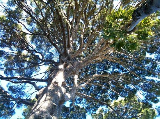 Arderne Gardens: The grand Aleppo Pine