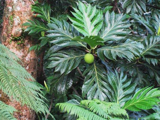 El Portal Tropical Forest Center: Un drôle de fruit près du  du Centre où débute la visite d'El Yunque
