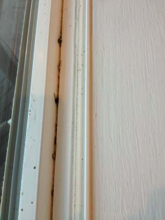 Best Western Antelope Inn & Suites: Dead Flies along window sill