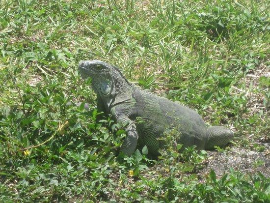 Navy Lodge Key West: Iguana on the pet walk on Sigsbee near Navy Lodge