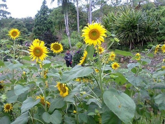 Eden Nature Park & Resort: sunflowers at Eden nature park