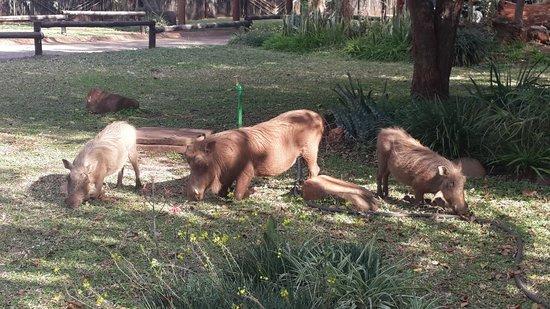 Crocodile Bridge Rest Camp: Wart hogs in camp