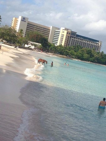 Radisson Aquatica Resort Barbados: Horses taking a morning swim