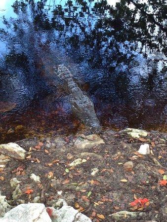 El Torreon Nursery : Coccodrillo nello stagno
