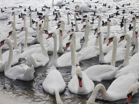 Abbotsbury Swannery: Swans waiting for food.